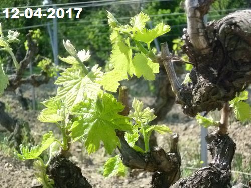 The vines come alive again, the first heat brings forth the buds, the branches are formed.